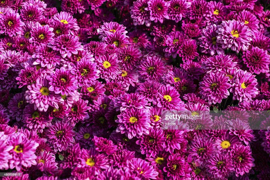 Fleurs de chrysanthème rose : Photo