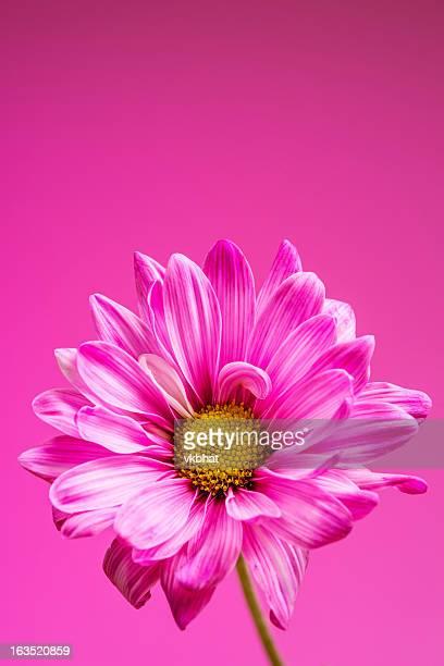 pink chrysanthemum - roze achtergrond stockfoto's en -beelden
