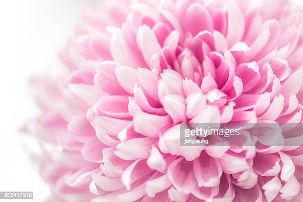 pink chrysanthemum