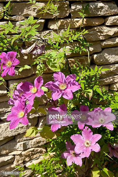 Pink clematis in English cottage garden in Swinbrook in The Cotswolds Oxfordshire UK