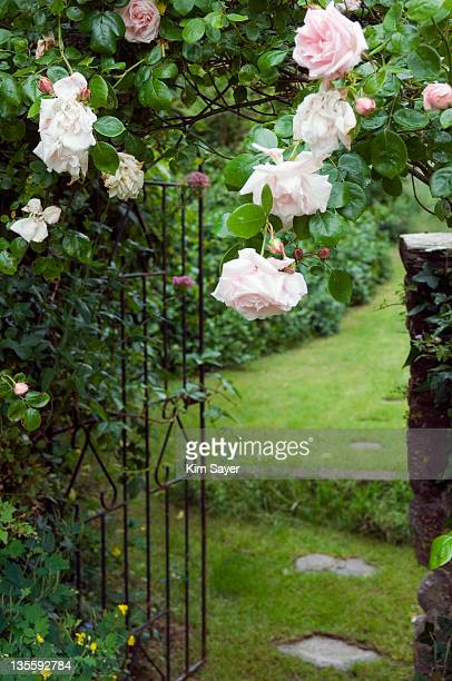 pink climbing rose (rosa) trained across garden entrance, june - kim rose stock-fotos und bilder