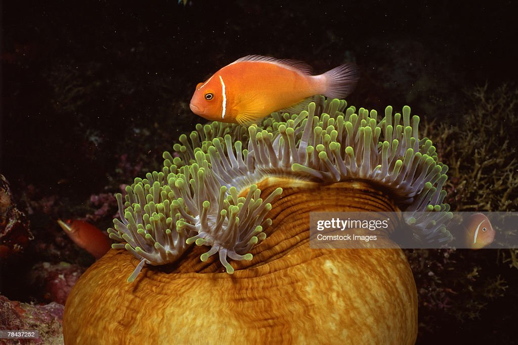 Pink clownfish and host sea anemone : Stockfoto