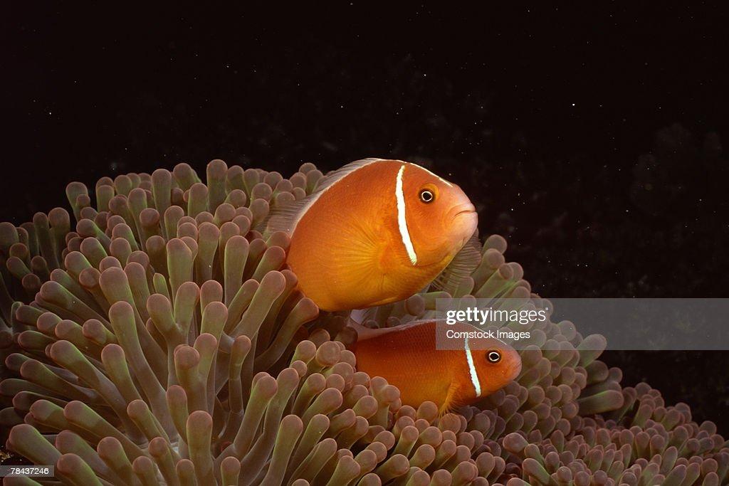Pink clownfish and sea anemone : Stockfoto