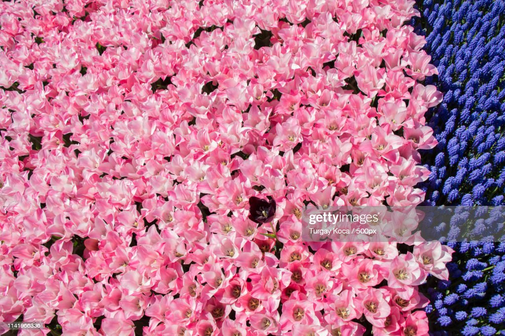 Pink Color Tulip Flowers Bloom : Stock-Foto