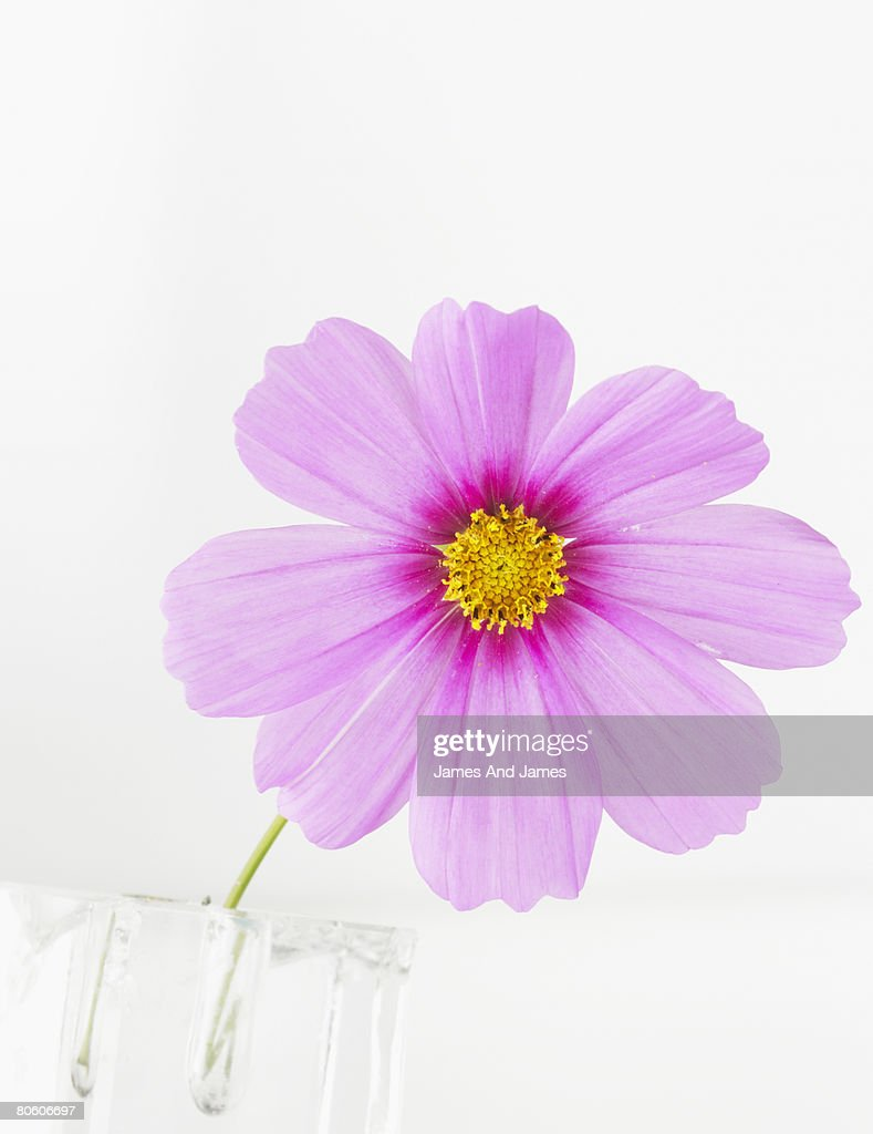 Pink cosmo flower : Stock Photo