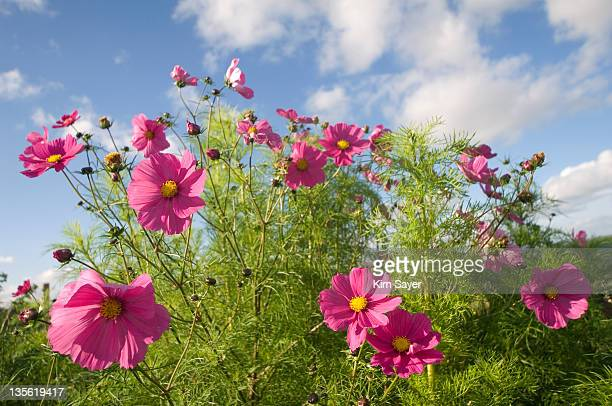 Pink Cosmos (Cosmos) Against Sky Background