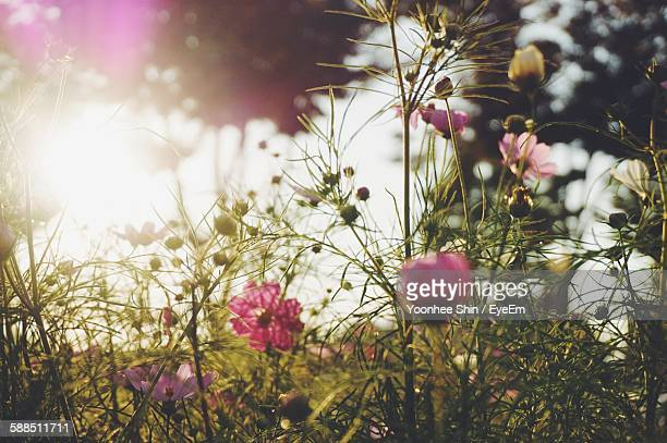 Pink Cosmos Flowers Blooming Outdoors