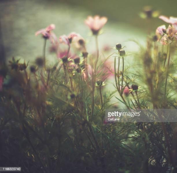 roze kosmos bloemen in vroege avondlicht - softfocus stockfoto's en -beelden