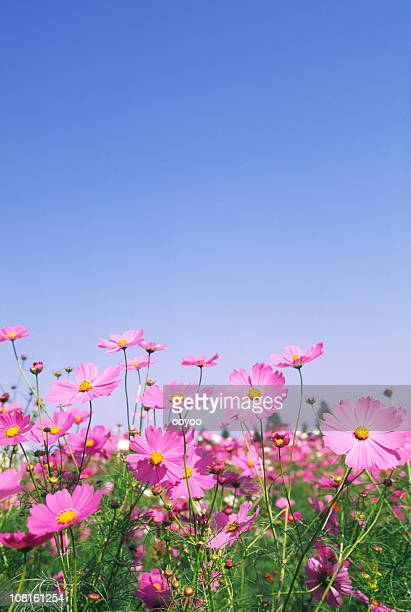 pink cosmos flowers in field against blue sky - cosmos flower stock photos and pictures