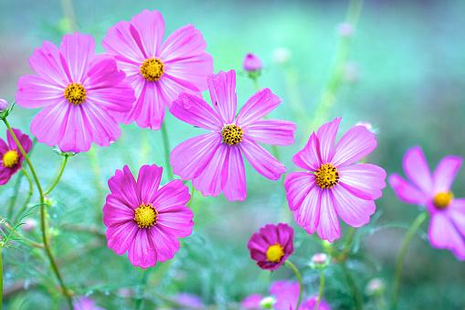 Pink cosmos flowers in rain - gettyimageskorea