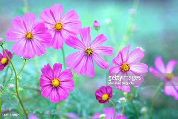 Pink cosmos flowers in rain