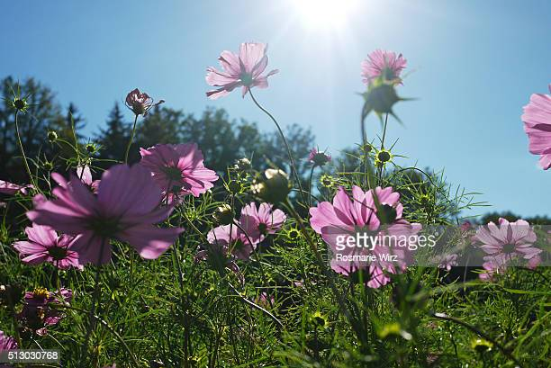 Pink Cosmos flowers,  low angle view.