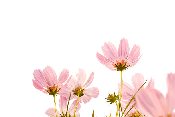 Free white background flower images pictures and royalty free pink cosmos flowers on white background mightylinksfo