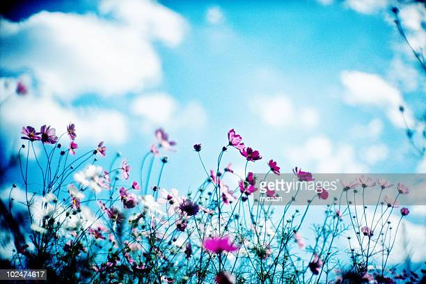pink cosmos with blue sky - cosmos flower stock pictures, royalty-free photos & images