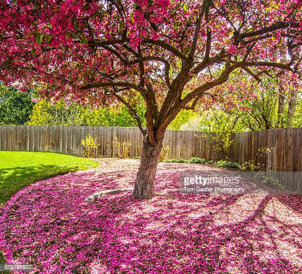 Pink crab apple blossom petals blanket the ground