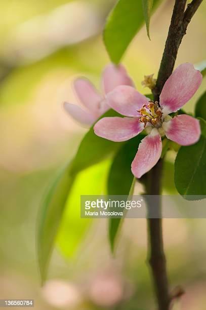 Pink Crabapple Tree Bloom