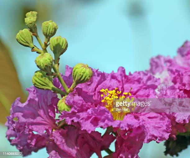 pink crape myrtle blossoms and flower buds against blue background - crepe myrtle tree stock pictures, royalty-free photos & images