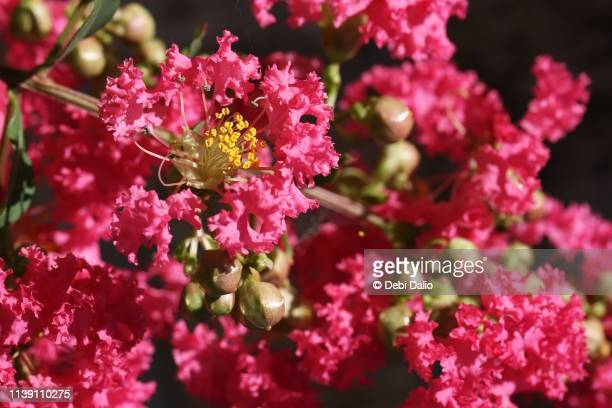 pink crepe myrtle flowers - crepe myrtle tree stock pictures, royalty-free photos & images