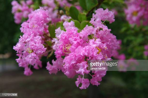 pink crepe myrtle (lagerstroemia) in bloom - crepe myrtle tree stock pictures, royalty-free photos & images