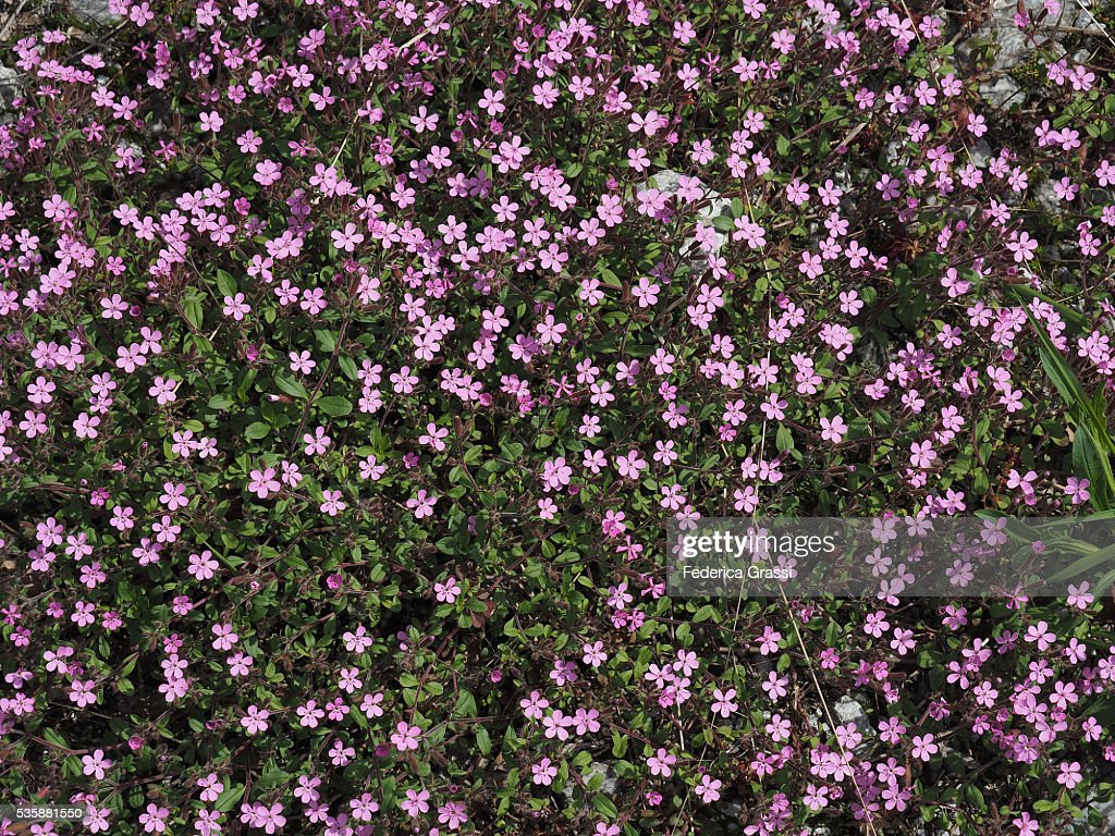 Pink Cushion Of Androsace Wild Flowers In The Natural Park Of The