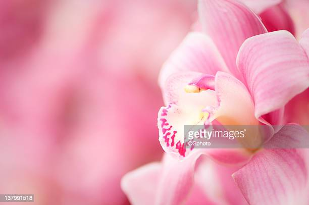 pink cymbidium orchid - ogphoto stock photos and pictures