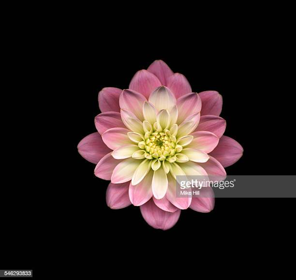 Pink dahlia against black background