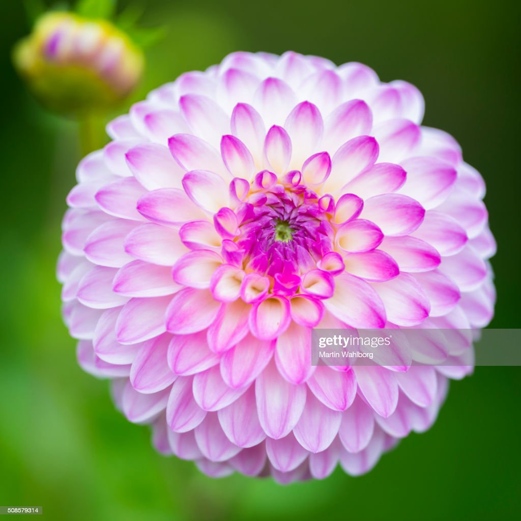 ROSE Dahlia et bourgeon macro : Photo