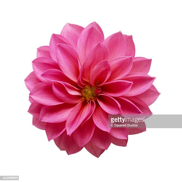 pink dahlia close-up - flower head stock photos and pictures