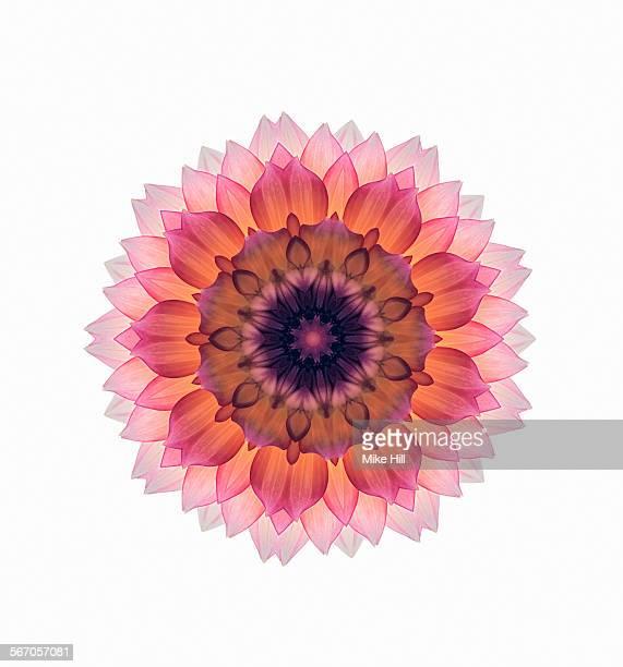 Pink dahlia flower mandala