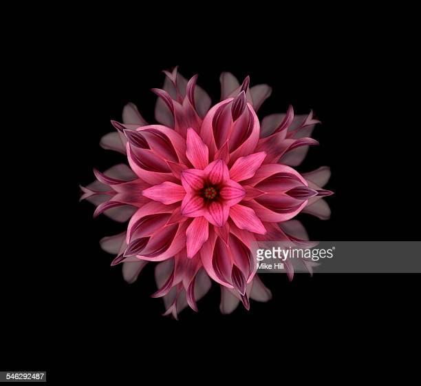 Pink dahlia mandala pattern