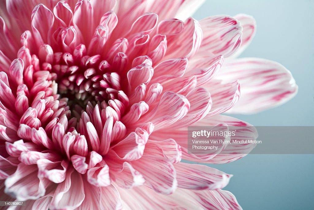 Pink Dahlia : Stock Photo