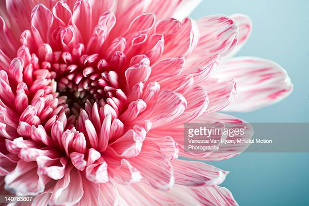 pink dahlia - vanessa van ryzin stock photos and pictures