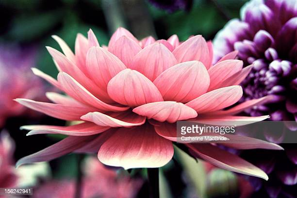 pink dahlia - catherine macbride stockfoto's en -beelden