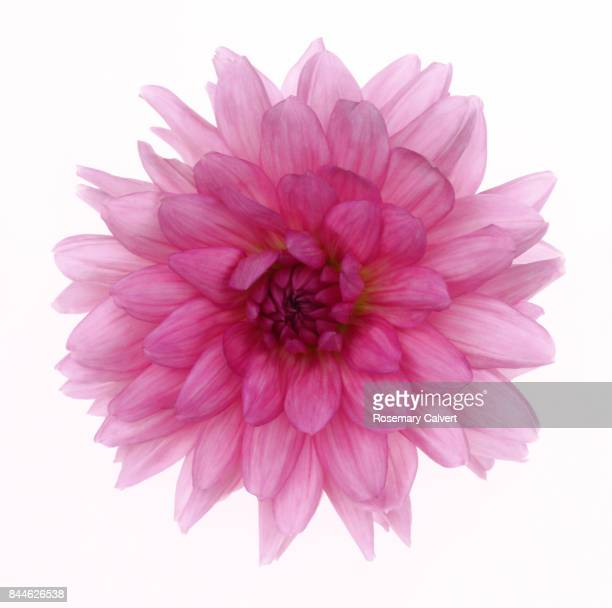 Pink Dahlia Rosella in close-up on white.
