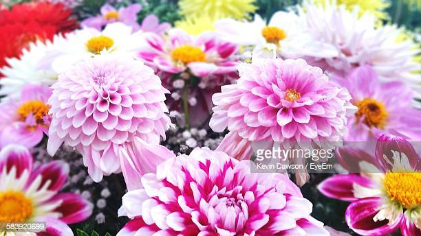 Pink Dahlias Blooming In Park