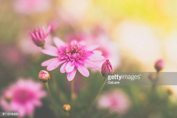 Pink dahlias growing in warm sunlight