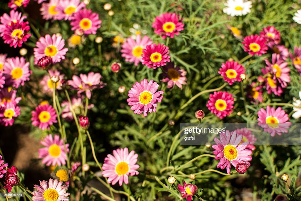 pink daisies in the garden : Stock Photo