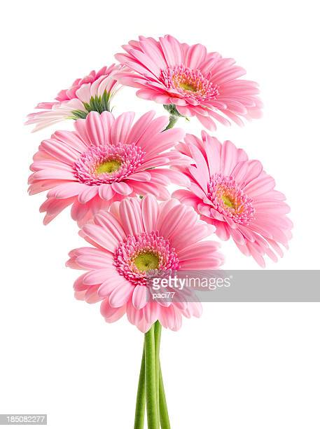 pink daisies (with clipping path) - gerbera daisy stock pictures, royalty-free photos & images