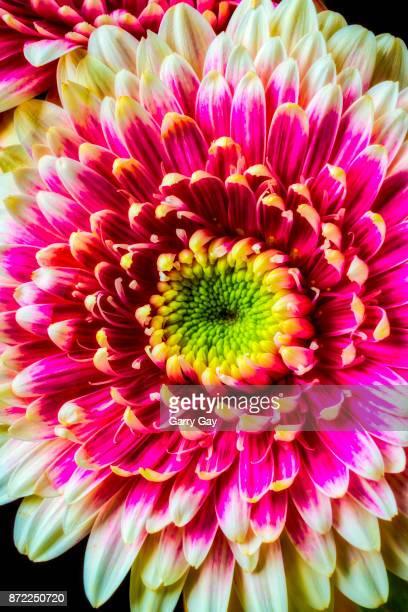Pink Daisy Close Up