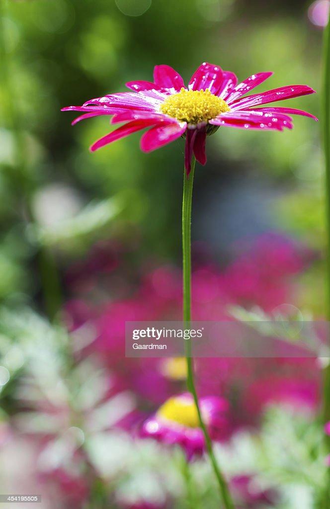 Pink Daisy : Stock Photo
