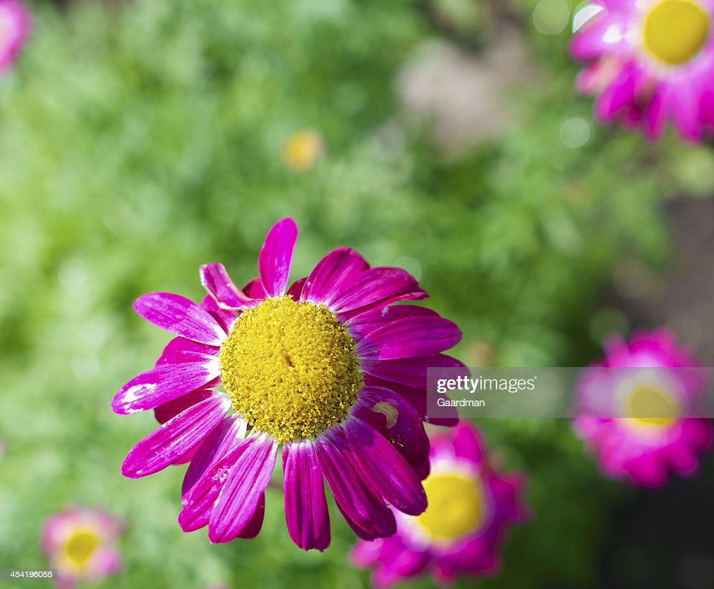 Pink Daisy : Stock Photo