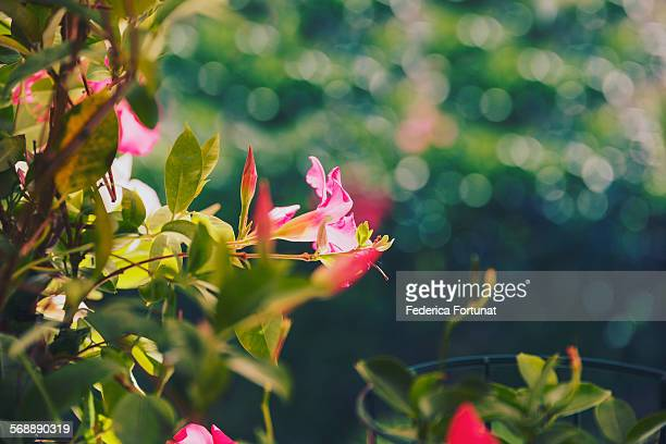 Pink Dipladenia Mandevilla flower in the sunlight