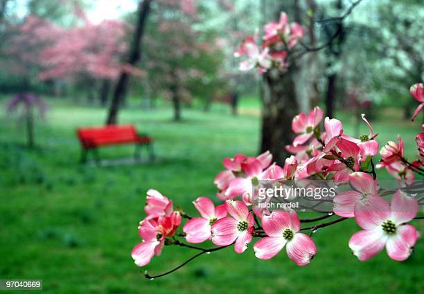 pink dogwood blossoms in park near red bench - dogwood blossom stock pictures, royalty-free photos & images