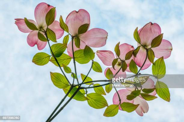 Pink Dogwood Branches with Sky and Clouds