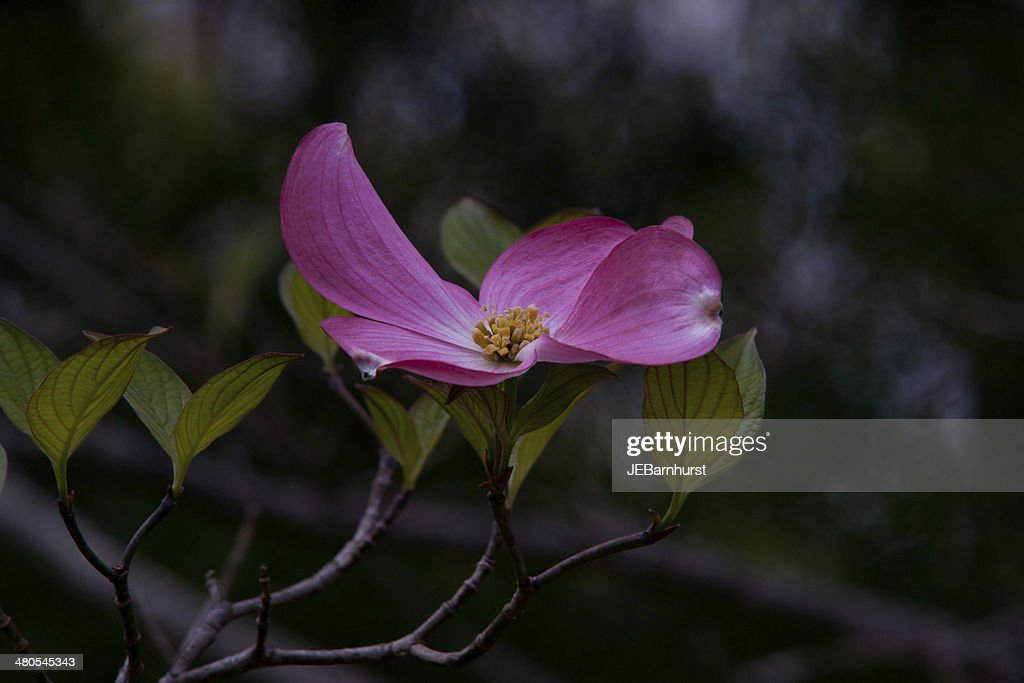 Pink dogwood flower : Stock Photo