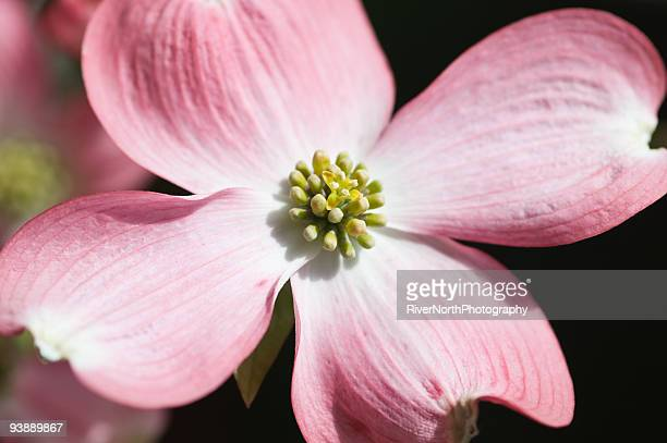 pink dogwood flowers in spring - dogwood blossom stock pictures, royalty-free photos & images