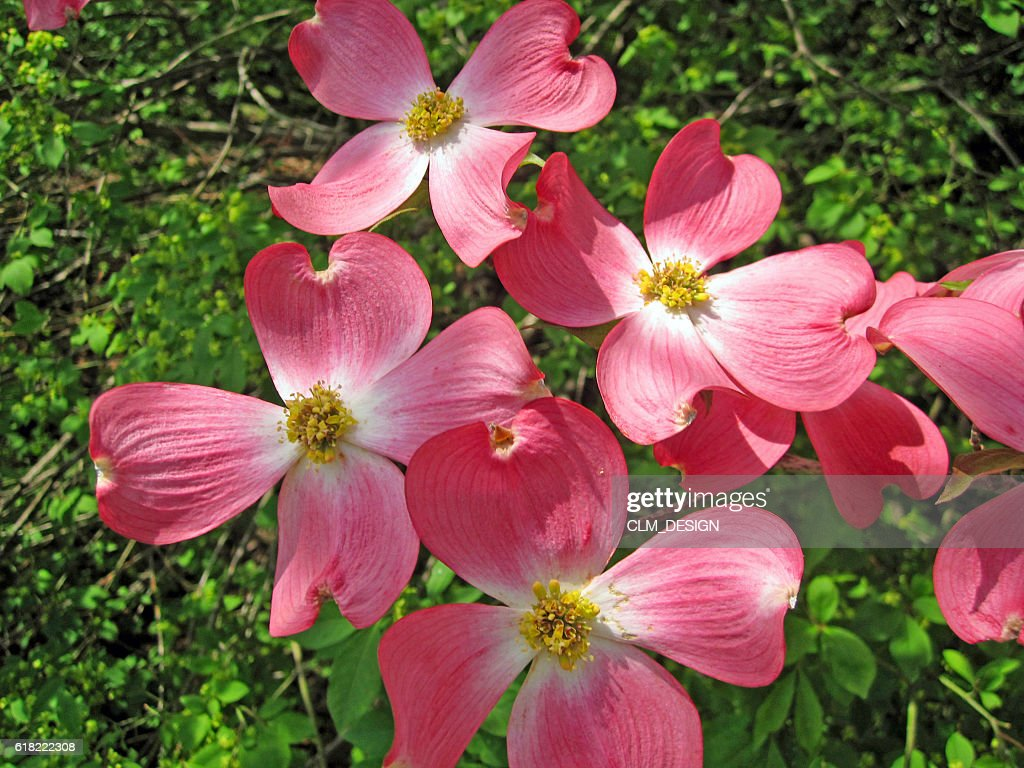 Pink Dogwood Flowers Stock Photo Getty Images