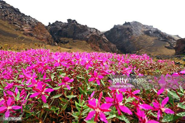 pink dwarf fireweed carpet in volcanic landscape - volcanic landscape stock pictures, royalty-free photos & images