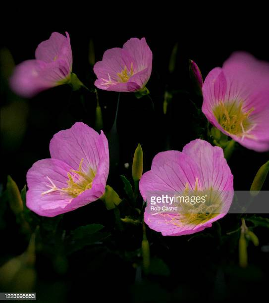 pink evening primrose - rob castro stock pictures, royalty-free photos & images