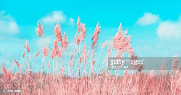 pink fake reed grass at blue sky background - pampa stock-fotos und bilder